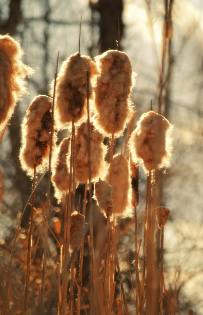 cattails - Copy